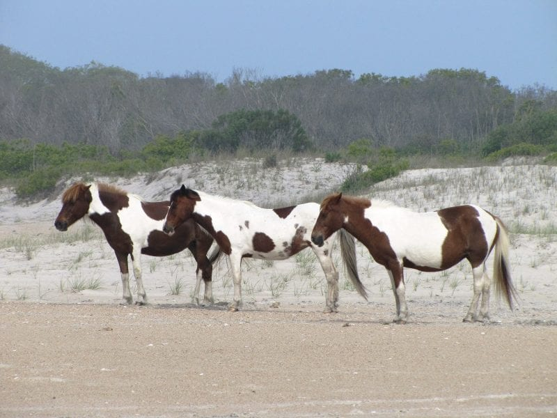 Love The Moment This Summer At Virginia Beach | winterandsparrow.com #virginiabeach #summer (wild ponies in VA)