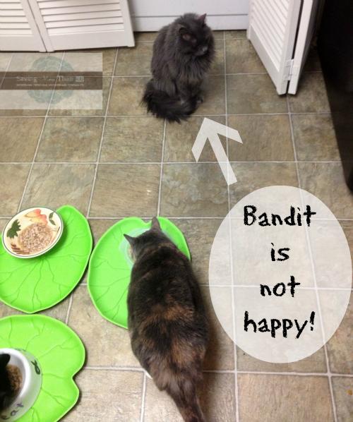 bandit is not happy #truenatureofcats