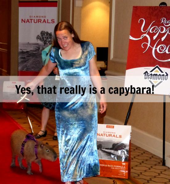 Yes, that really is a capybara walking the red carpet at #blogpaws #diamondnaturals savingmorethanme.com