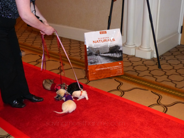 Yes, those really are ferrets on the red carpet. #diamondnaturals #blogpaws savingmorethanme.com