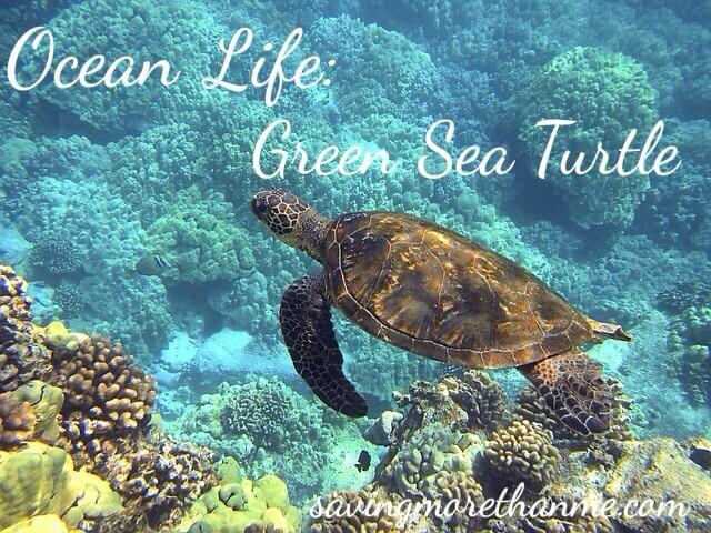 Ocean Life: Green Sea Turtle