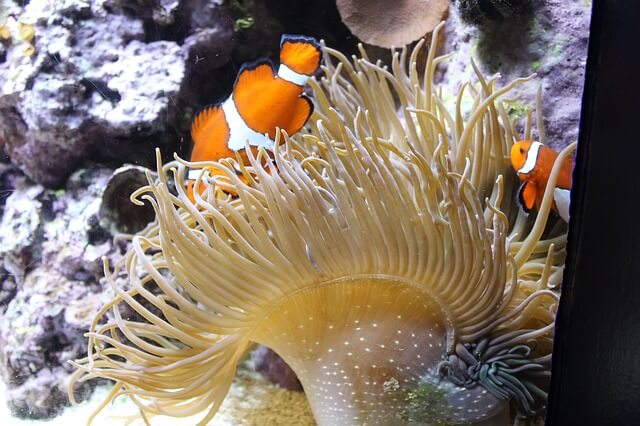 Ocean Life: Clown Fish