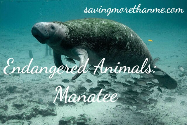 Endangered Animals: Manatee