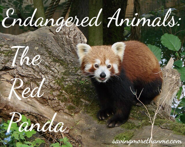 Image of: Endangered Animals Winter And Sparrow Endangered Animals The Red Panda