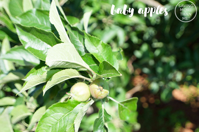 Baby Apples Growing At The Orchard---5 Fun Ways To Fit In Exercise (Even If You Hate Exercise)