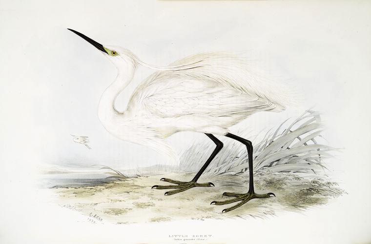 FREE VINTAGE BIRD PRINT: LITTLE EGRET