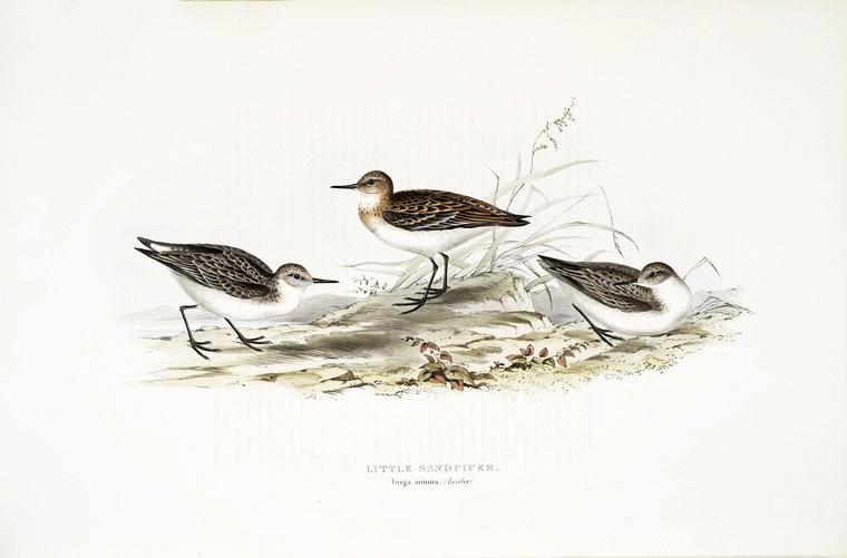 FREE VINTAGE BIRD PRINT: LITTLE SANDPIPER