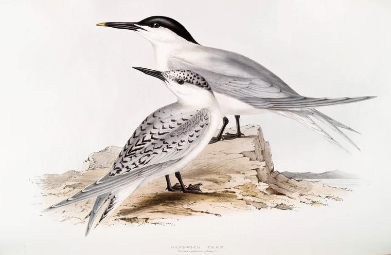 FREE VINTAGE BIRD PRINT: SANDWICH TERN